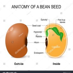Bean Seedling Diagram 1998 Dodge Ram 1500 Radio Wiring Anatomy Seed Vector Outside Stock