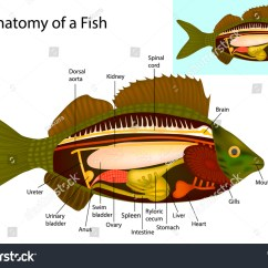 Perch Internal Anatomy Diagram Microphone Wiring Fish Organs Vector Stock