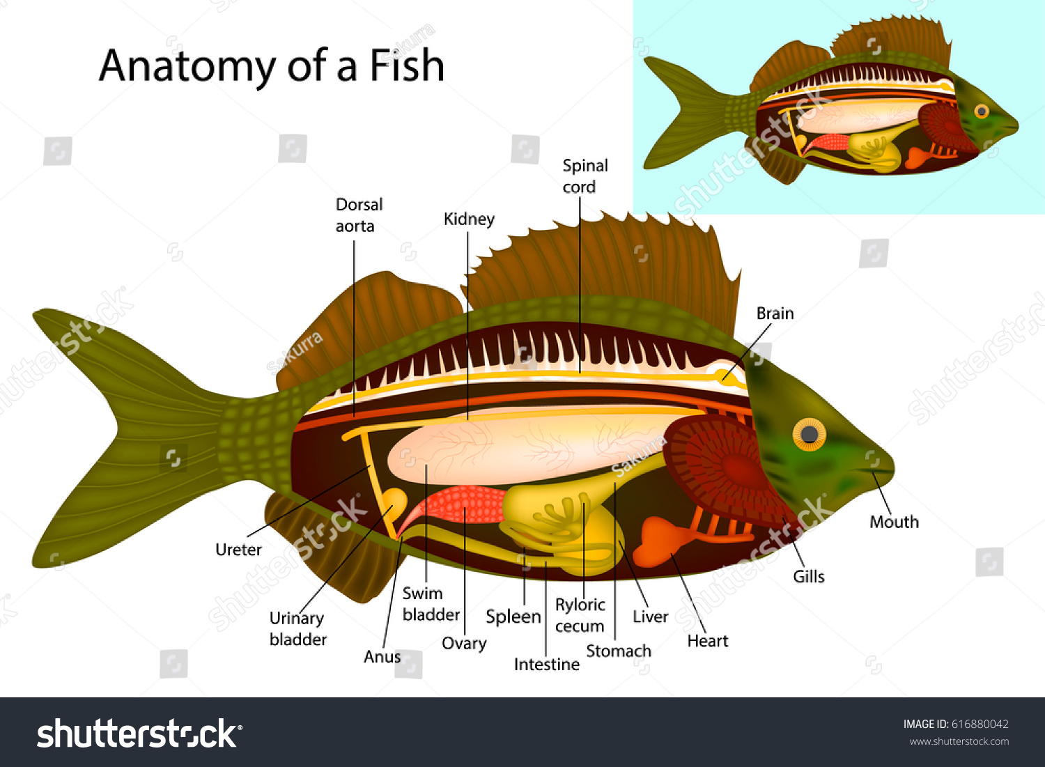 perch internal anatomy diagram wiring for jeep grand cherokee fish organs vector stock