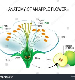 anatomy of an apple flower flower parts detailed diagram with cross section useful [ 1500 x 1303 Pixel ]