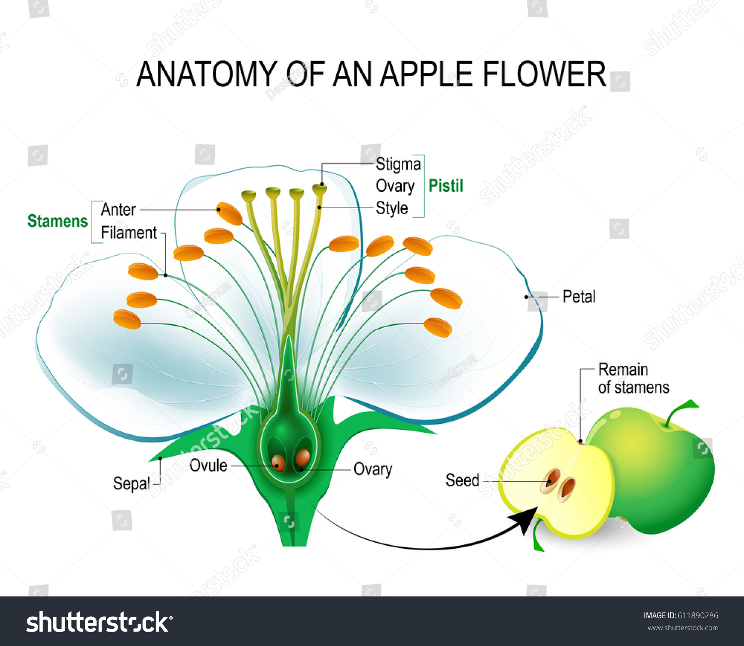hight resolution of anatomy of an apple flower flower parts detailed diagram with cross section useful