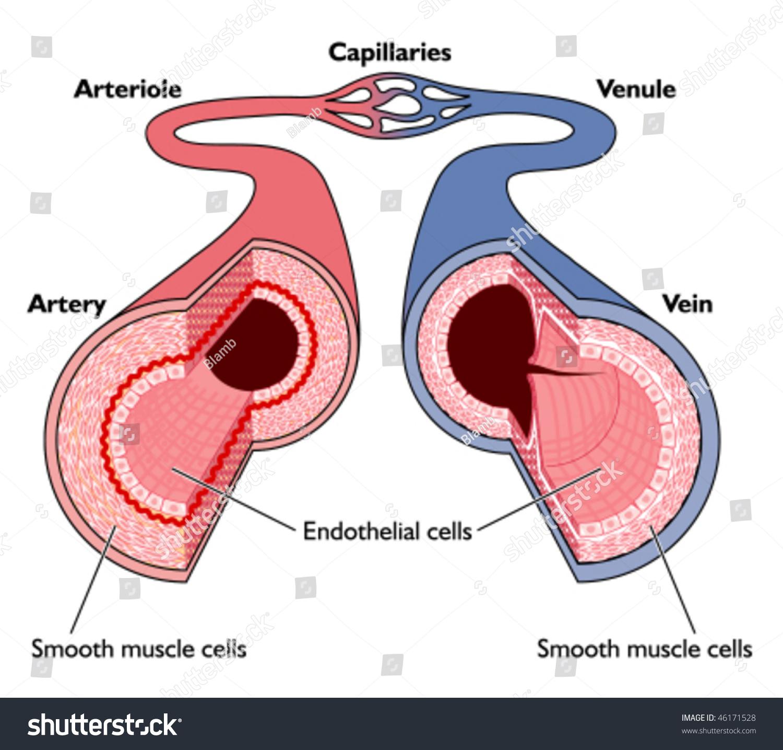 Anatomy Blood Vessels Artery Through Capillaries Stock