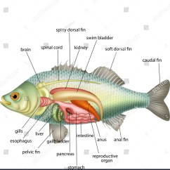 Perch Internal Anatomy Diagram 96 Integra Alarm Wiring Worksheet Fish Fun