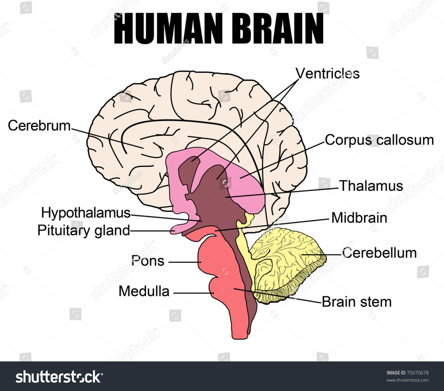 Anatomy Human Brain Vector Illustration For Stock Vector