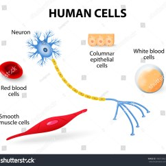 Human Brain Cell Diagram Stewart Warner Water Temp Gauge Wiring Anatomy Cells Neuron Red White Stock Vector
