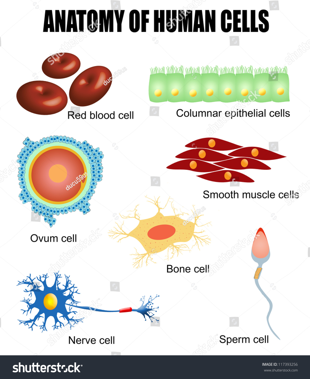 Anatomy Of Human Cells Useful For Education In Schools