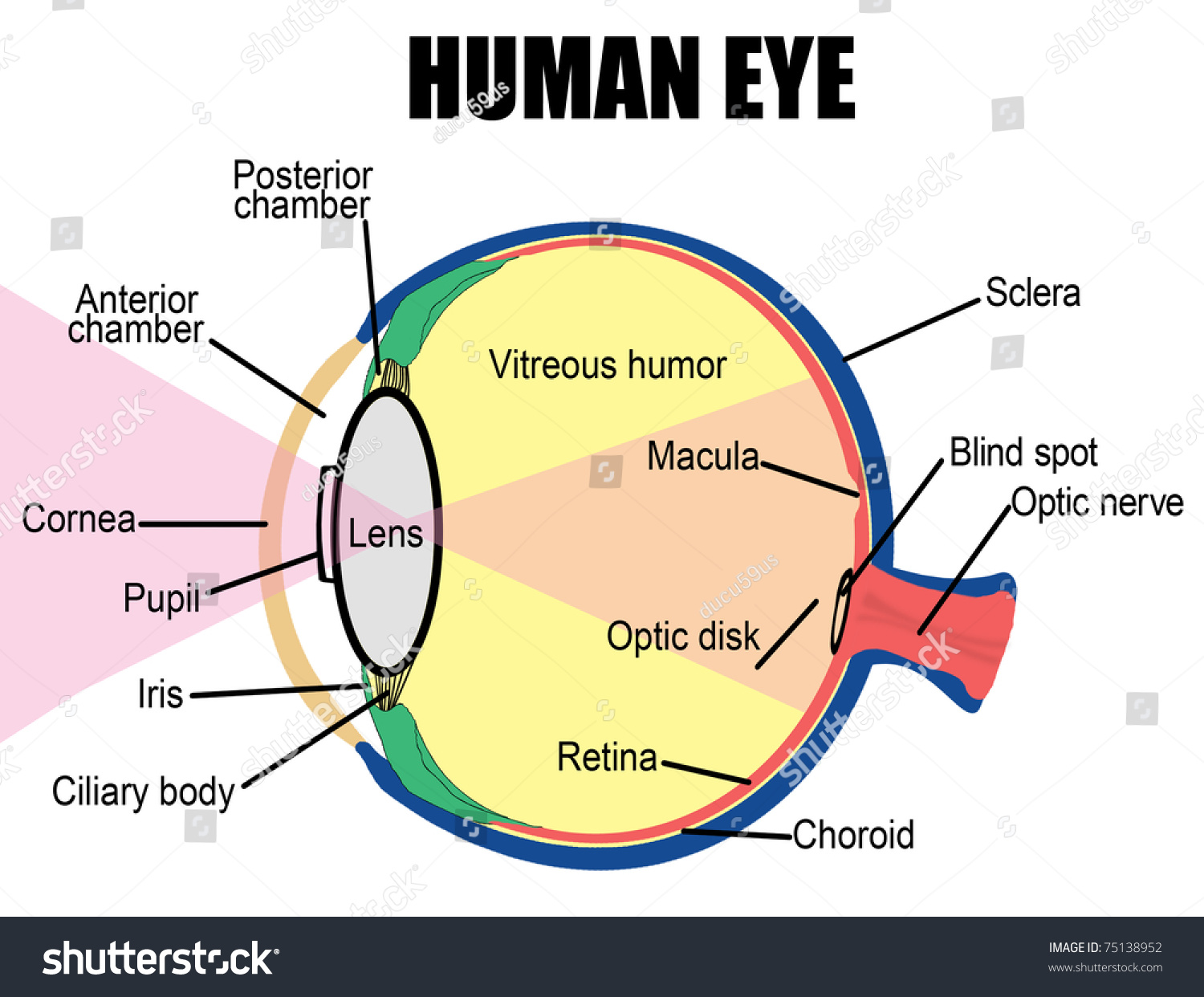 Anatomy Human Eye Vector Illustration For Stock Vector