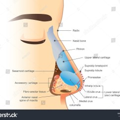 Diagram Of The Nose And Its Functions Wiring To Convert Three Phase Single Motors Anatomy Human Illustration About Description Stock