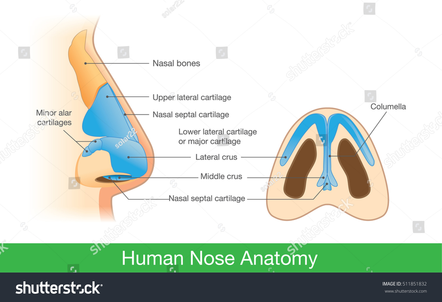 diagram of the human nose 2005 ford explorer factory stereo wiring anatomy side view below stock vector 511851832