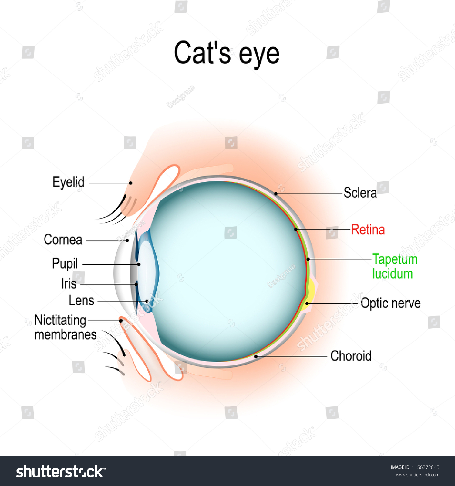 hight resolution of anatomy of the cat s or dog s eye vertical section of the eye and eyelids