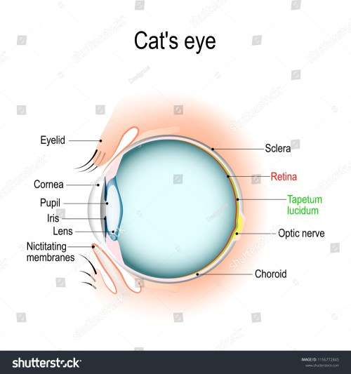 small resolution of anatomy of the cat s or dog s eye vertical section of the eye and eyelids