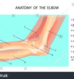 anatomy of the elbow cubitus vector illustration [ 1500 x 1101 Pixel ]