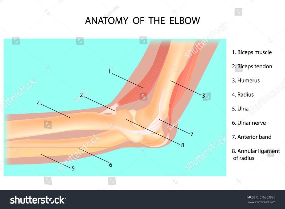 medium resolution of anatomy of the elbow cubitus vector illustration