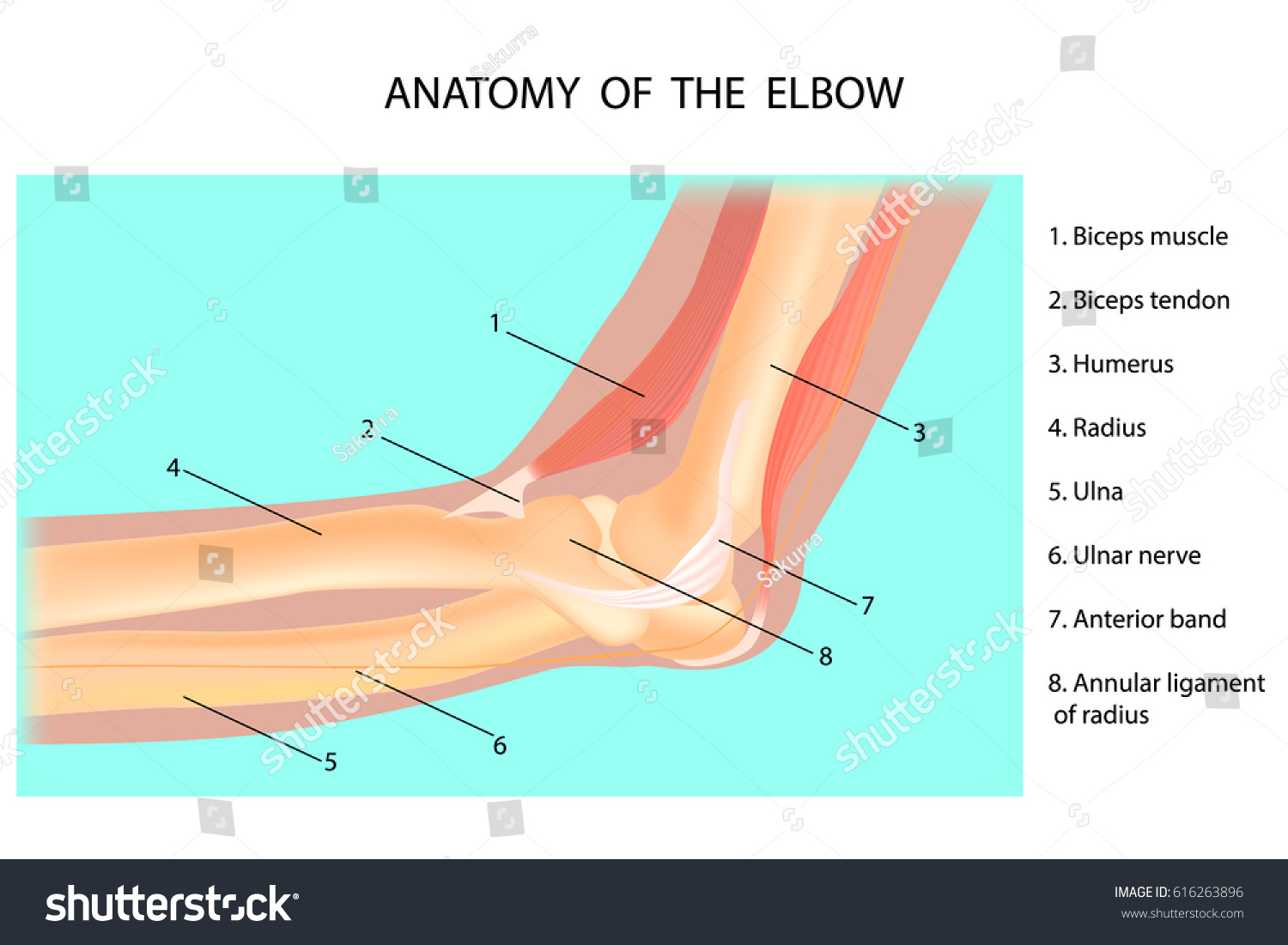 hight resolution of anatomy of the elbow cubitus vector illustration