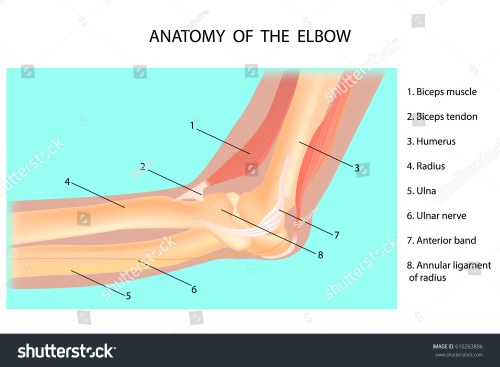 small resolution of anatomy of the elbow cubitus vector illustration
