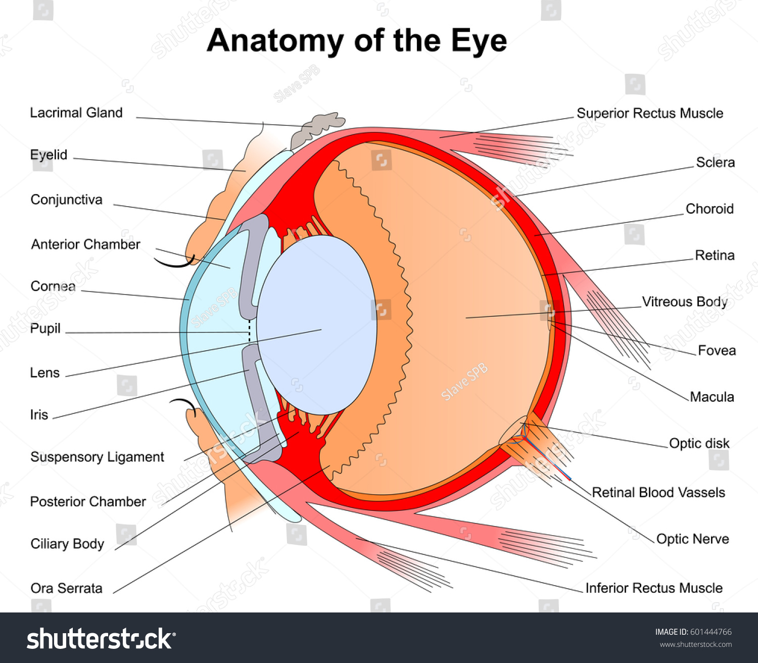 hight resolution of eye diagram rods conuses wiring diagram yer eye diagram rods conuses
