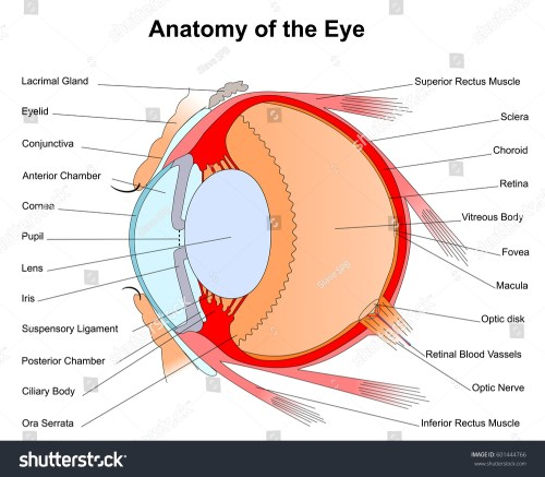 small resolution of eye diagram rods conuses wiring diagram yer eye diagram rods conuses