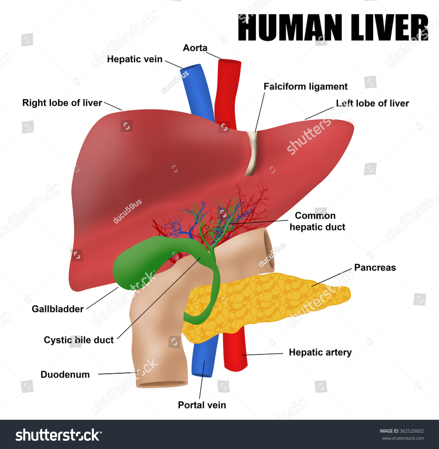 Anatomy Human Liver Vector Illustration For Stock Vector