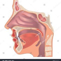 Diagram Of The Human Nose And Throat Pioneer Deh 1500 Wiring Anatomy Organ Structure Stock Vector
