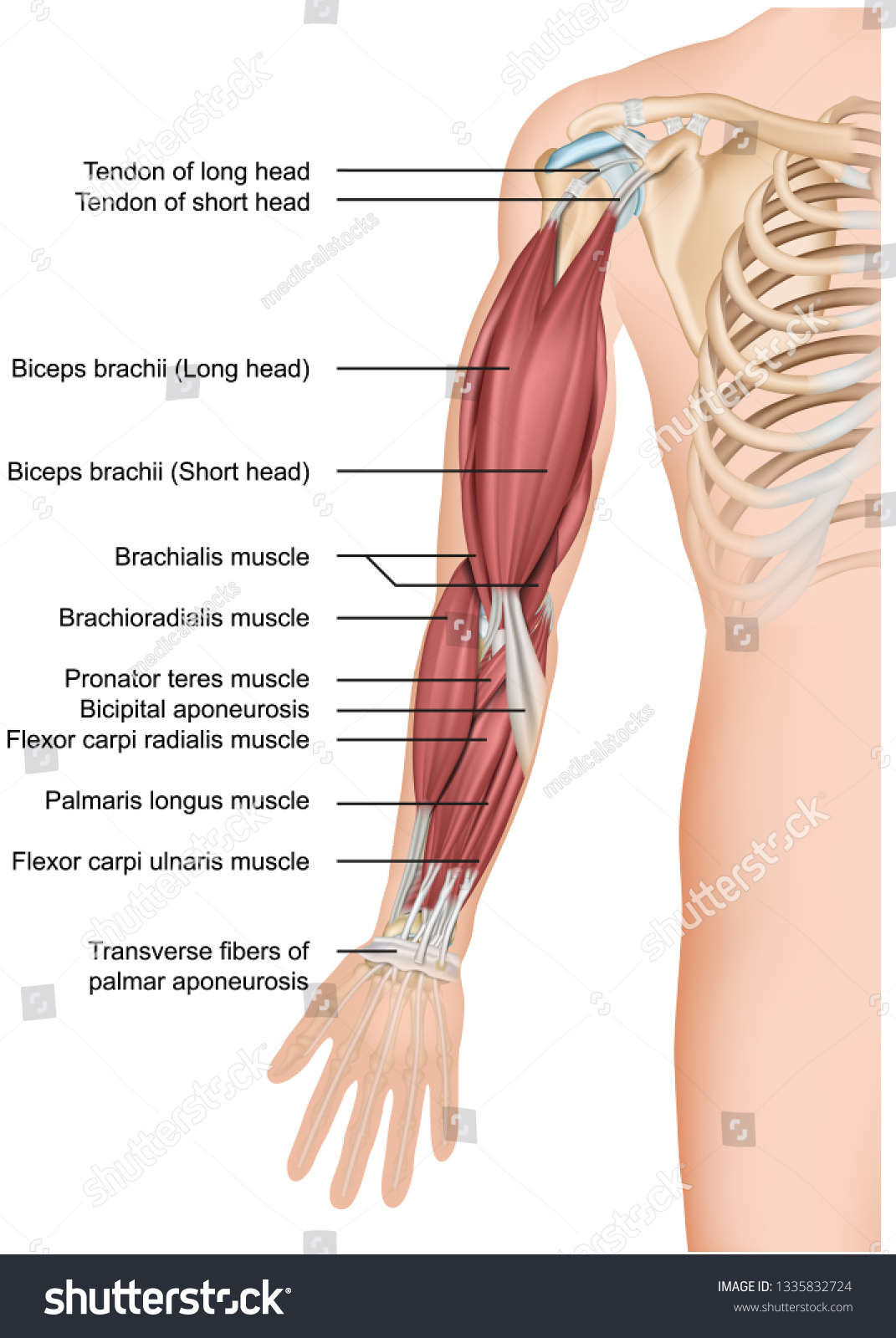 hight resolution of arm muscle anatomy 3d medical vector illustration forearm