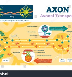 blank axon diagram simple wiring diagram nerve axon axon vector illustration labeled diagram explanation stock vector [ 1500 x 1150 Pixel ]