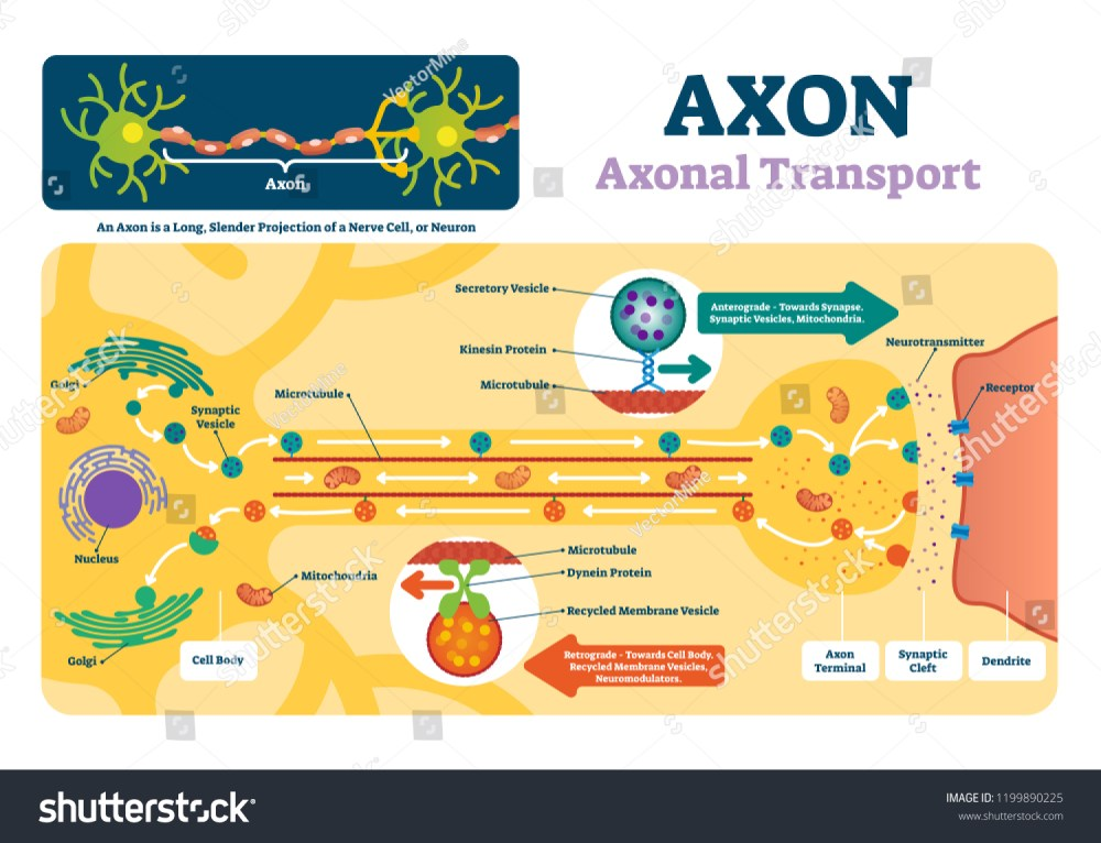 medium resolution of blank axon diagram simple wiring diagram nerve axon axon vector illustration labeled diagram explanation stock vector