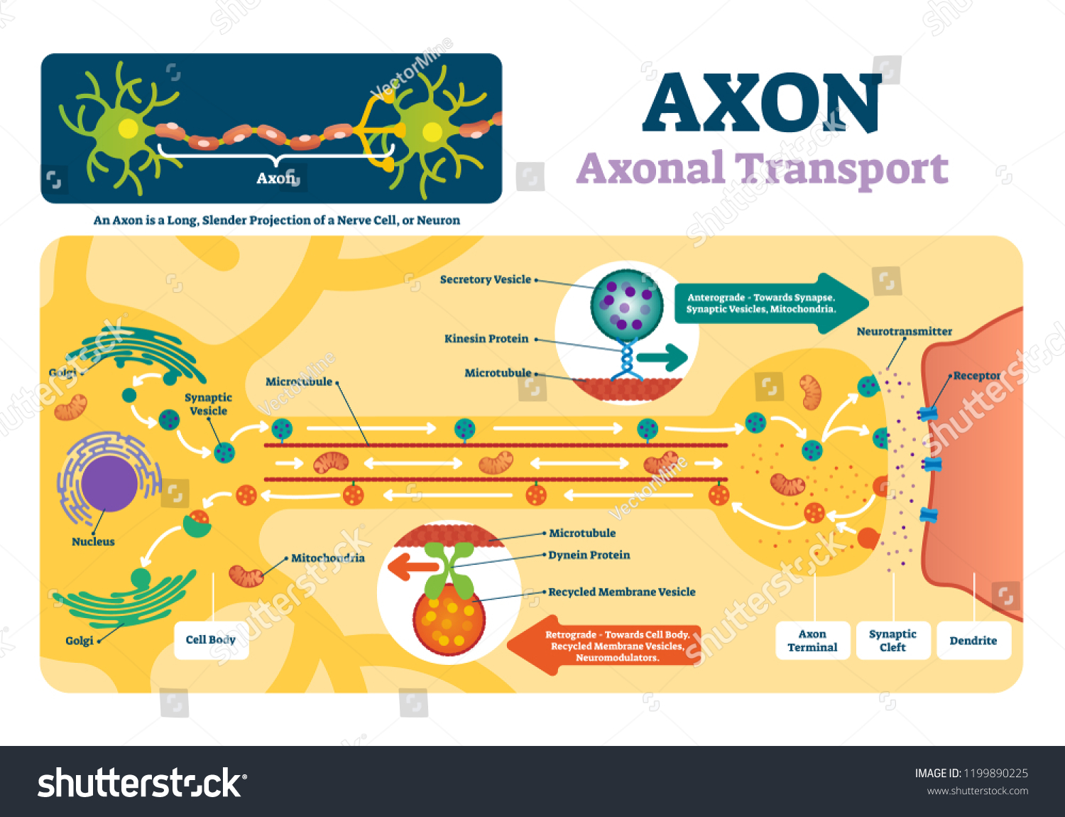 hight resolution of blank axon diagram simple wiring diagram nerve axon axon vector illustration labeled diagram explanation stock vector