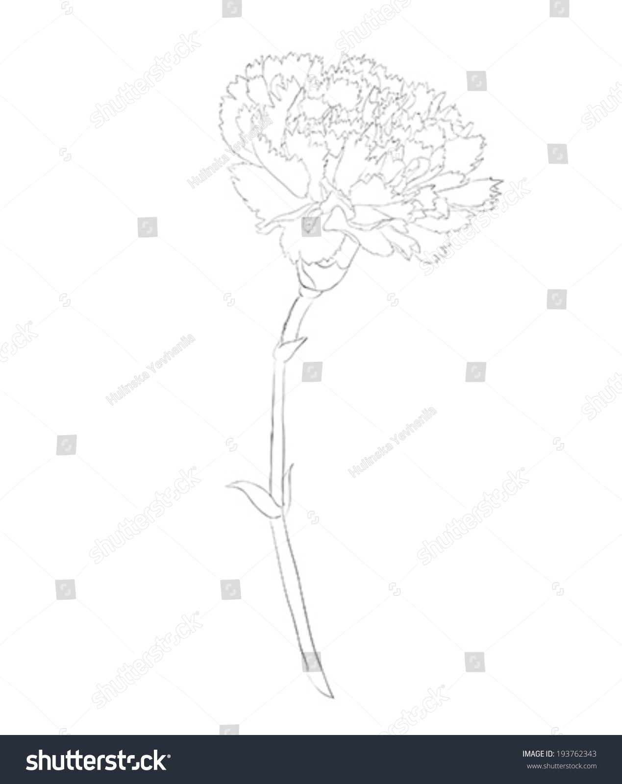 hight resolution of beautiful monochrome black and white carnation flower isolated on white background hand drawn contour