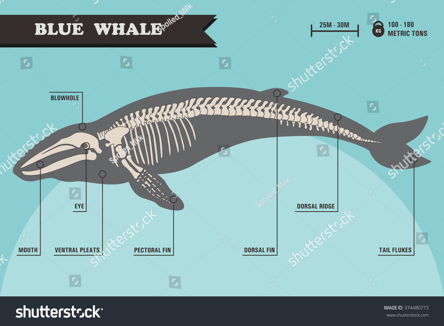 blue whale life cycle diagram whirlpool duet sport wiring orca skeleton