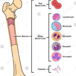 Bone Marrow Cell Diagram 2000 Mazda Protege Engine Infographic Including Femur Stock