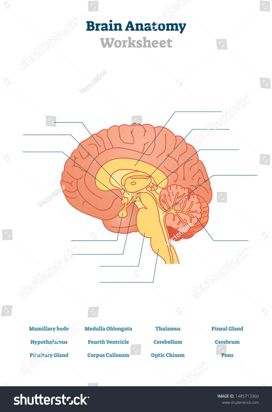 Blank Brain Diagram : blank, brain, diagram, Brain, Anatomy, Vector, Illustration, Anatomical, Blank, Stock, (Royalty, Free), 1485713360