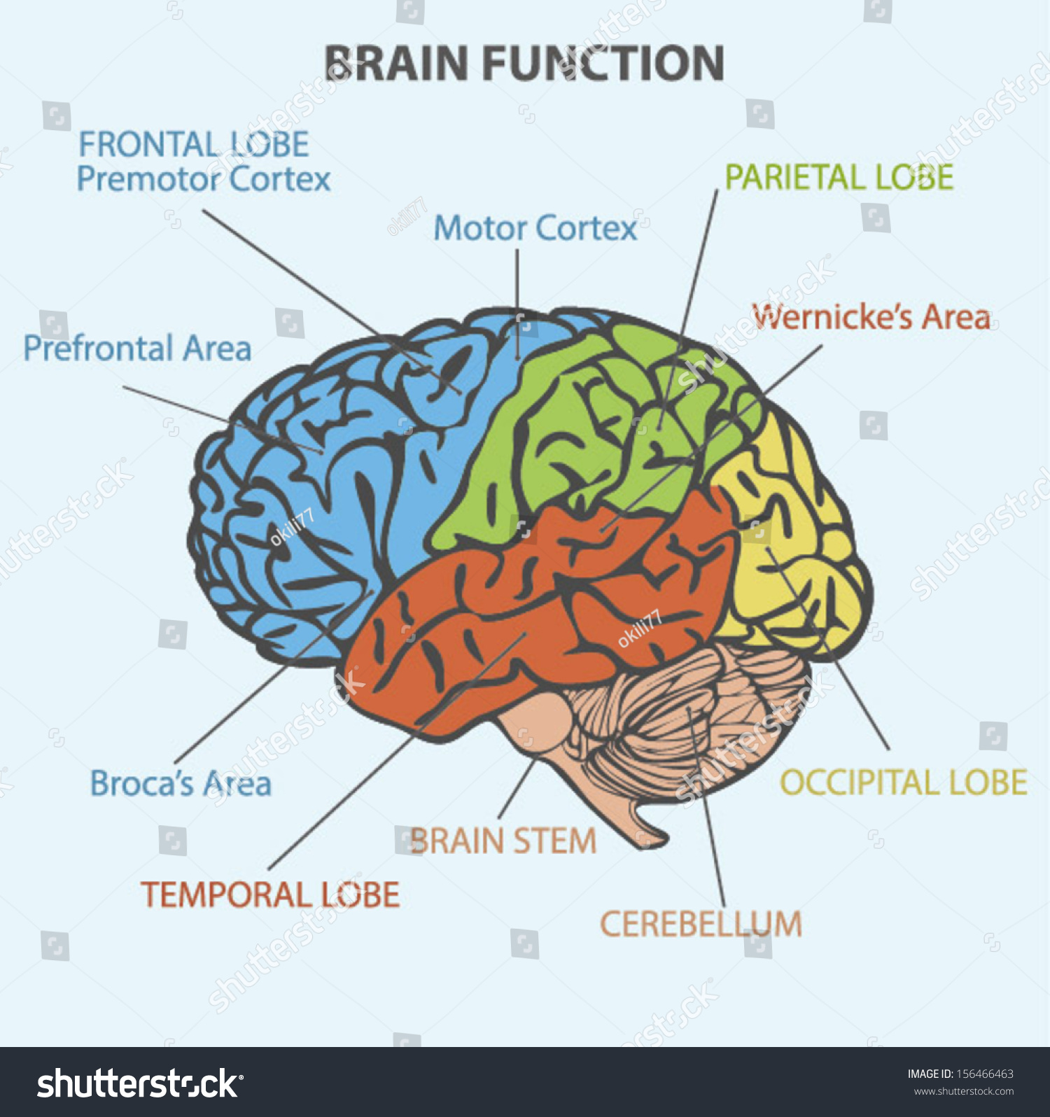 Brain Function Diagram Stock Vector