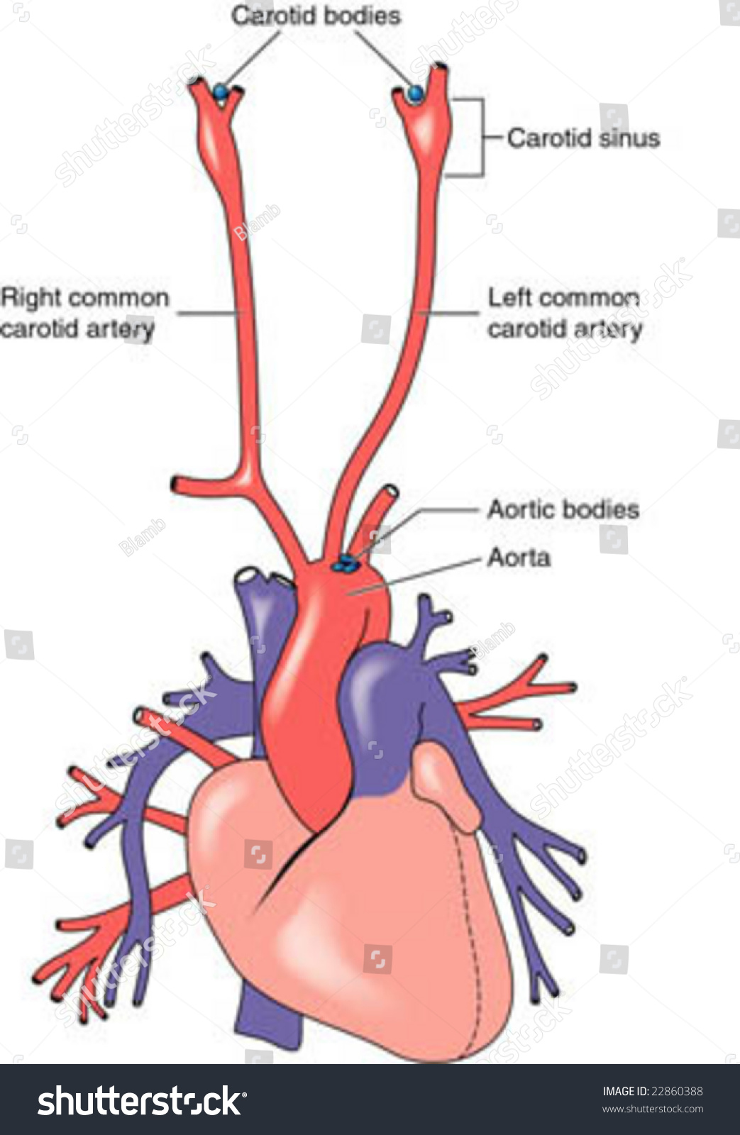 carotid artery diagram stove wiring south africa aortic bodies stock vector 22860388 shutterstock