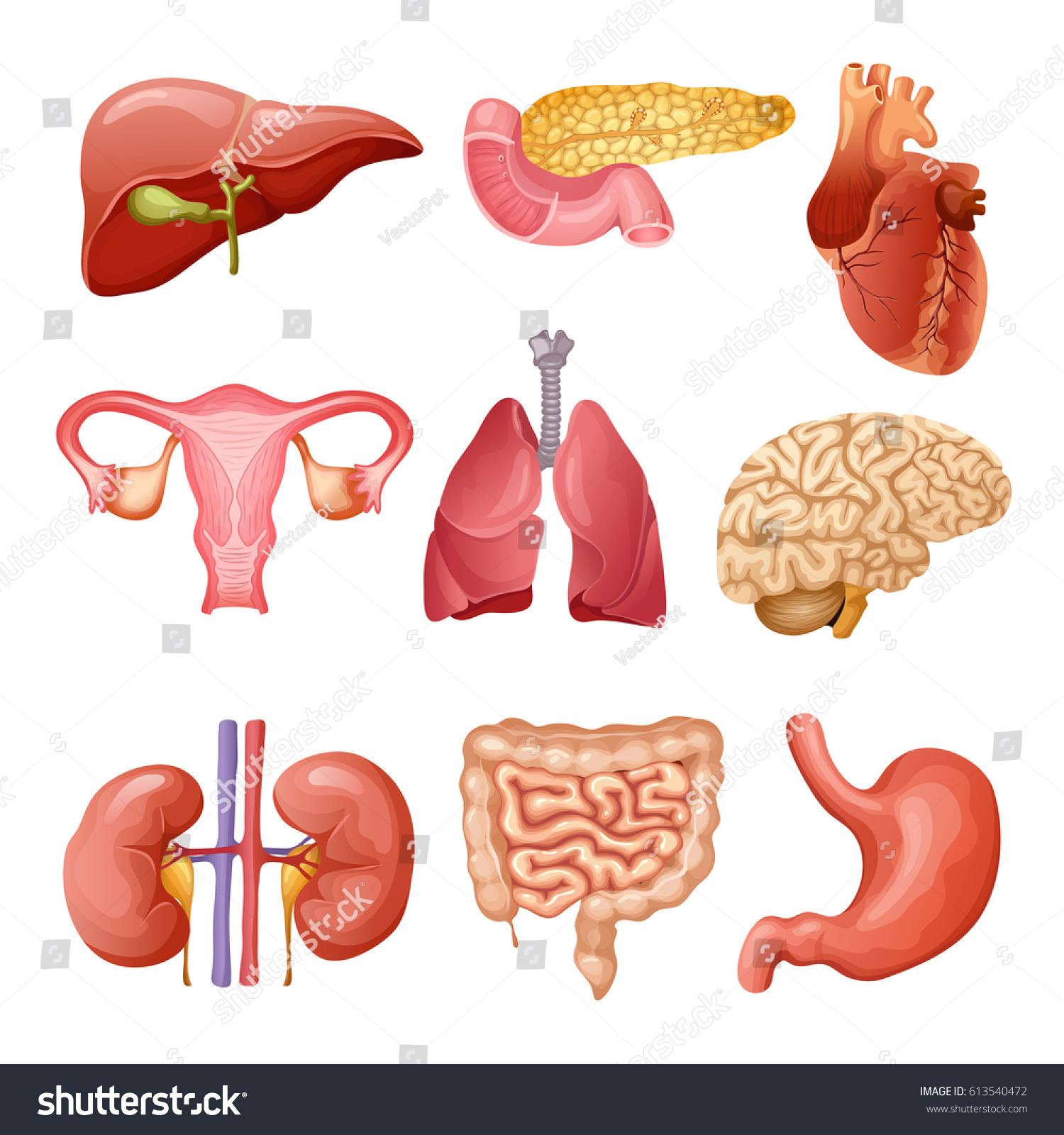 Cartoon Human Organs Set Liver Pancreas Stock Vector