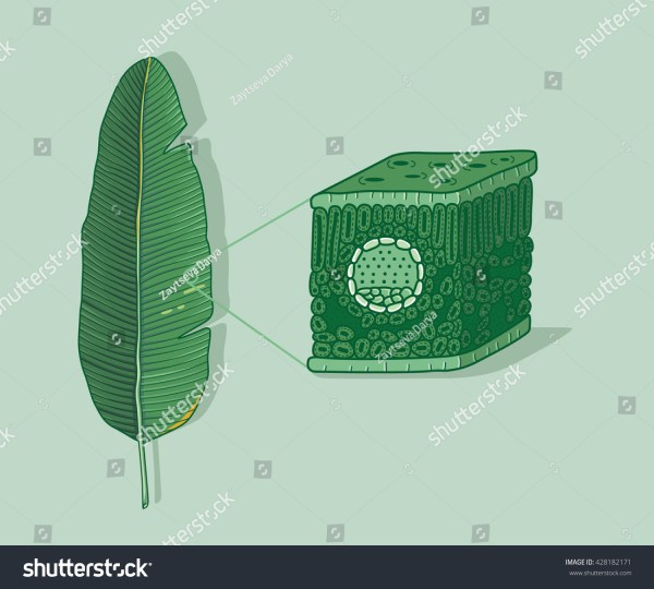 Cartoon Leaf Anatomy Structure Under Microscopy Stock