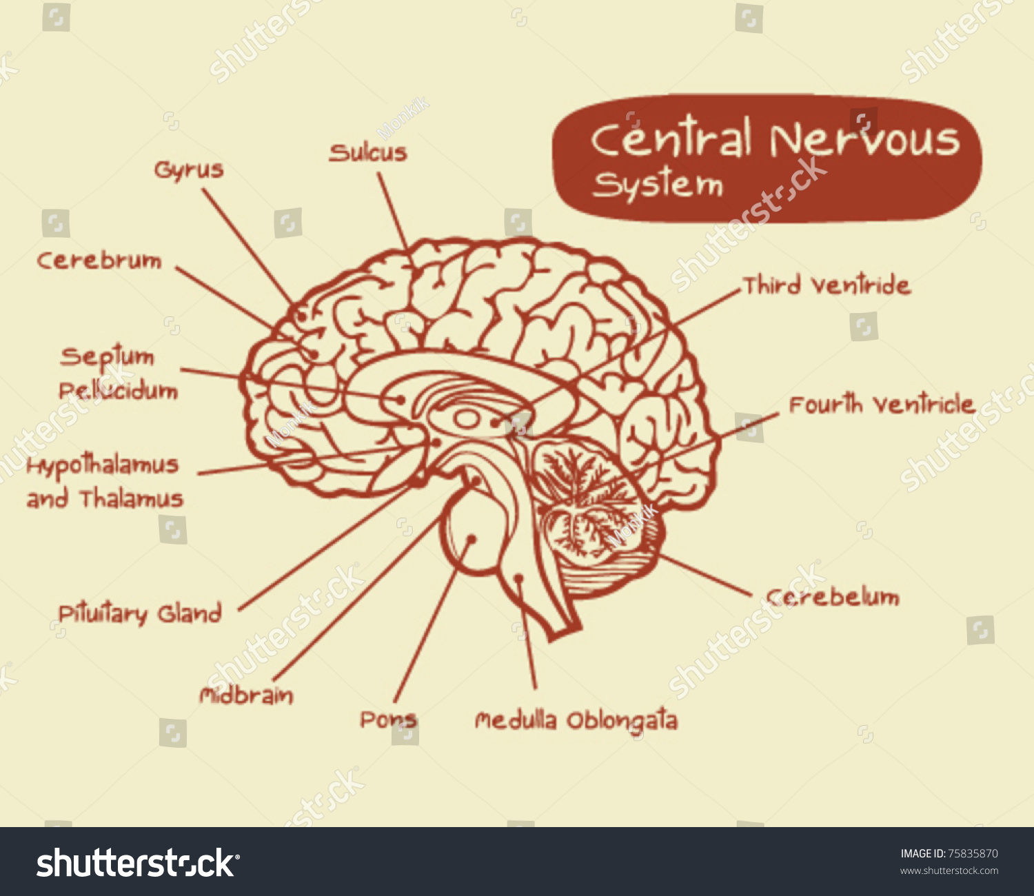 central nervous system labeled diagram 1996 club car wiring 36 volt stock vector 75835870 shutterstock