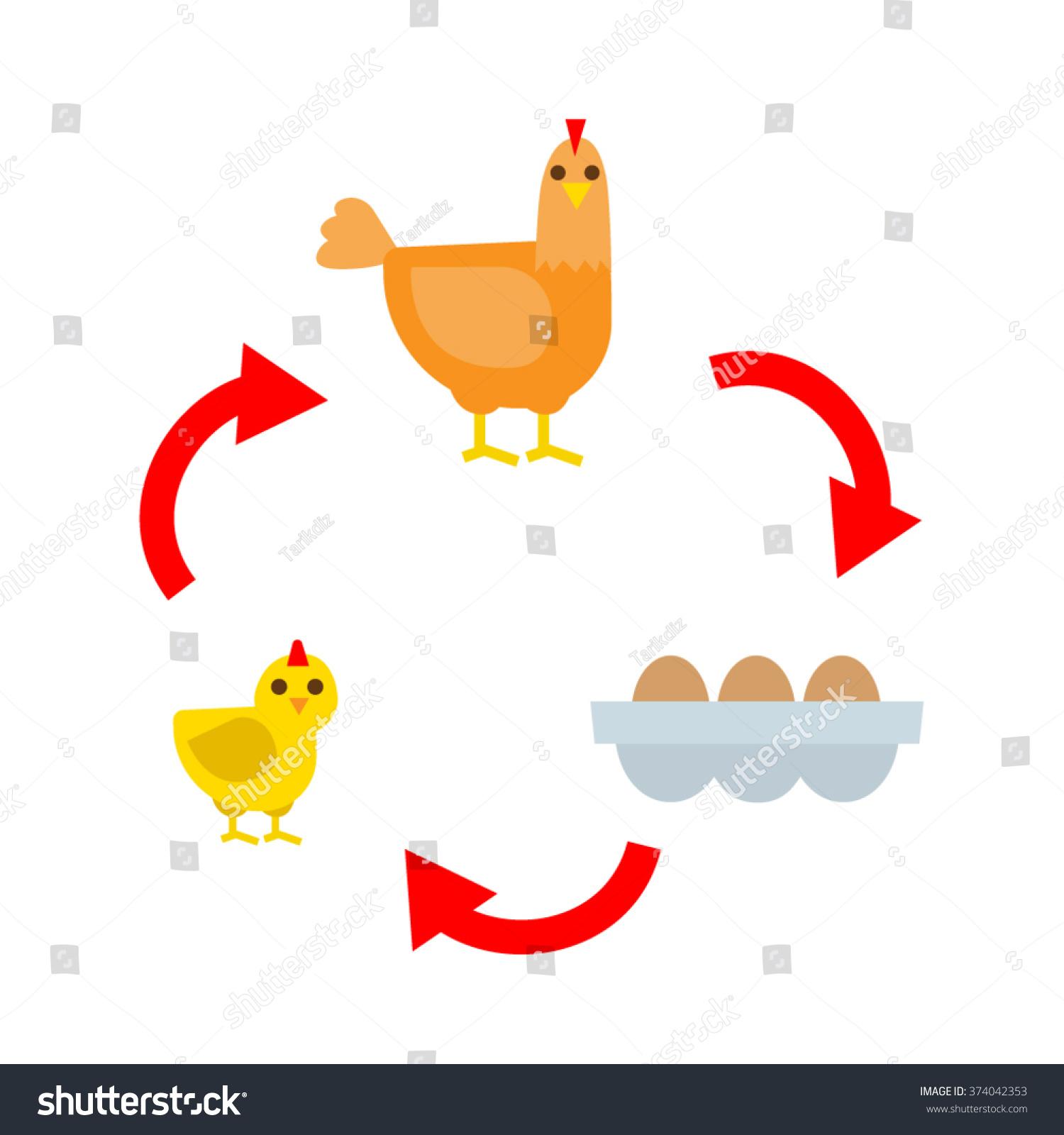 Chicken Life Cycle Chicken Hen Eggs Stock Vector