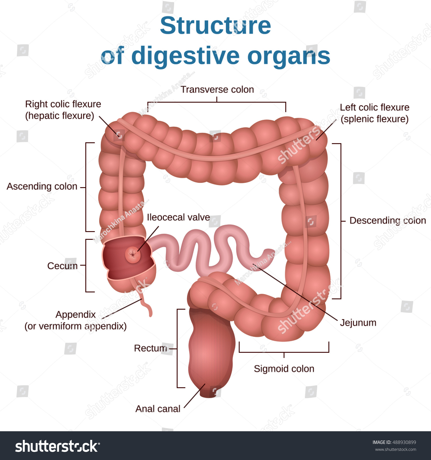 diagram of large intestine and colon leeson dc motor wiring circuit structure digestive system small stock