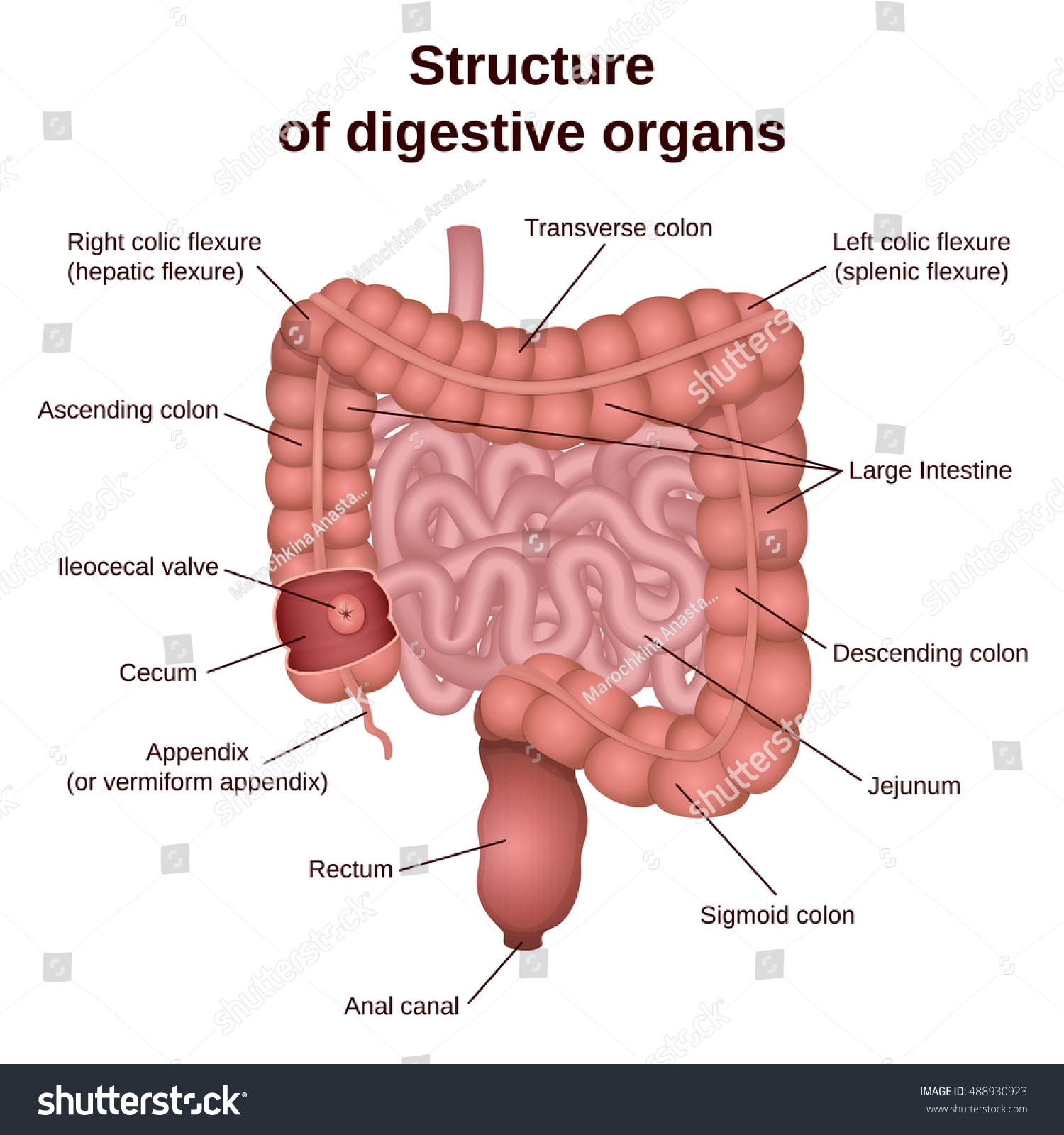 hight resolution of circuit structure of the digestive system colon and small intestine