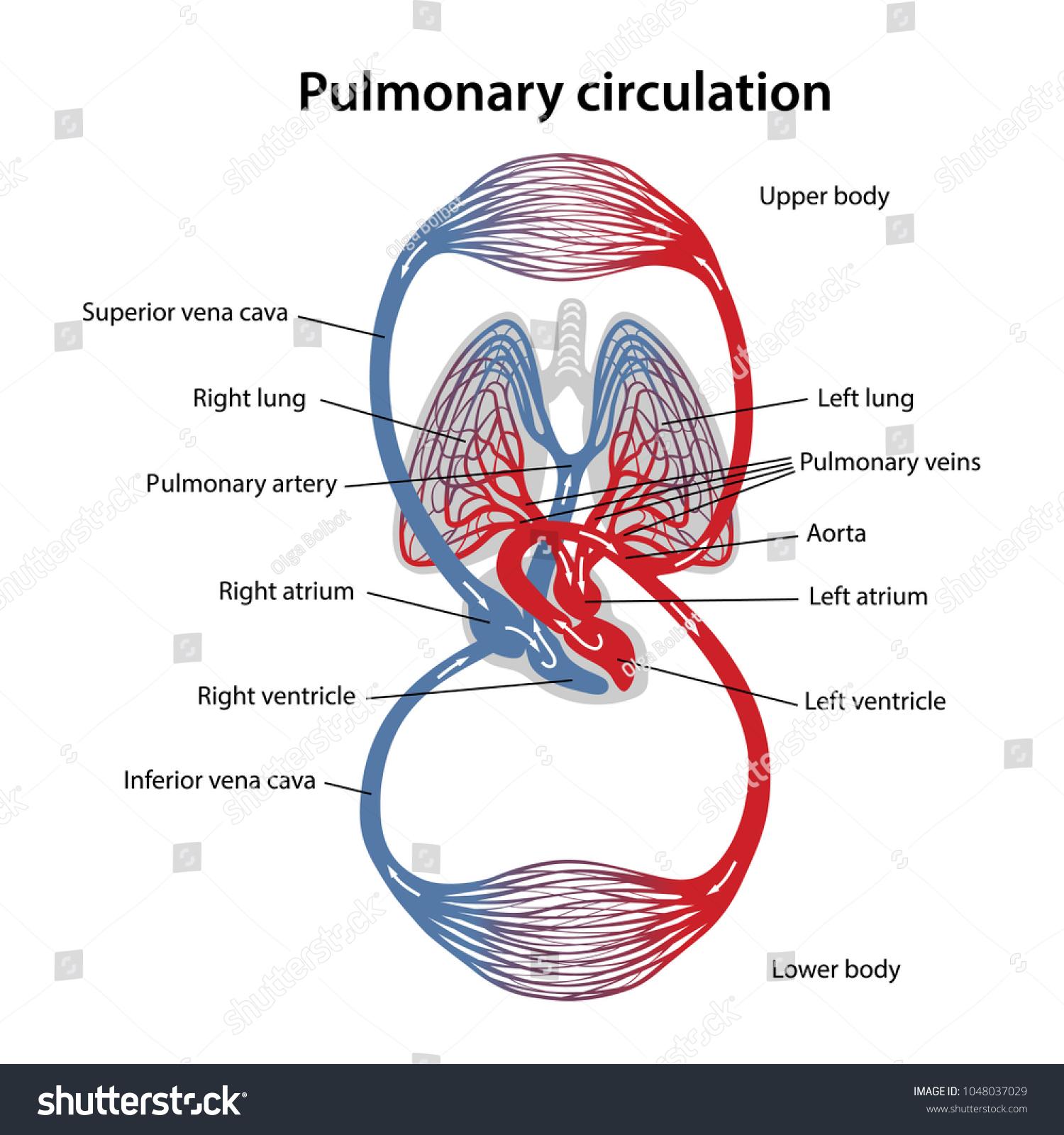 hight resolution of circulation of blood diagram of pulmonary circulation vector illustration of great and small circles of blood circulation