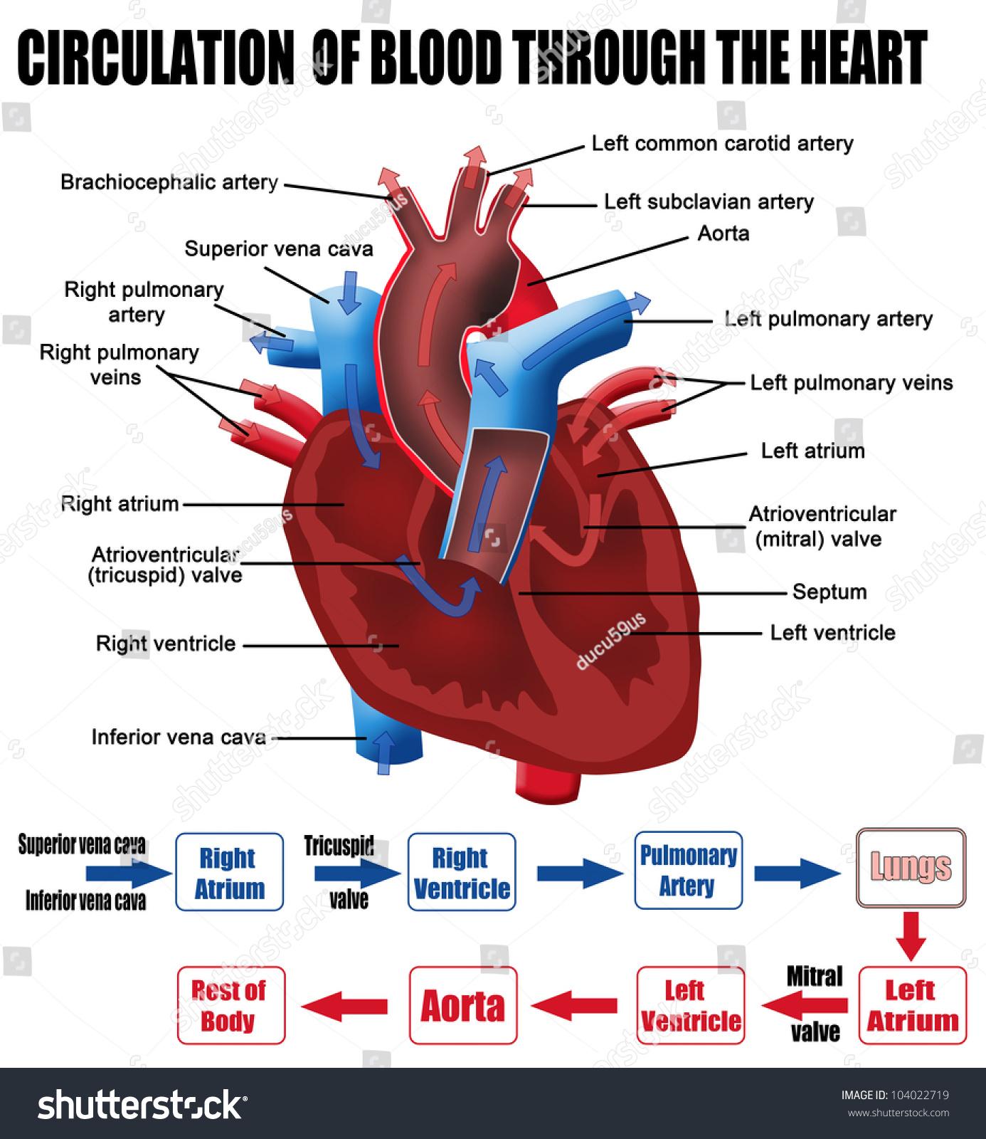 Circulation Blood Through Heart For Basic Stock Vector