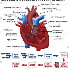 Heart Diagram Outside Honeywell Rth9580wf Youtube Circulation Of Blood Through The For Basic Medical