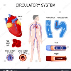 Octopus Water Vascular System Diagram 1999 Mitsubishi Canter Wiring Best Library Circulatory Heart Cross Section Artery And Vein Red Blood Cells