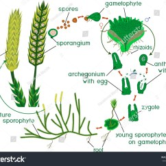 Life Cycle Of A Labeled Moss Diagram Ge Dryer Wire Clubmoss Stock Vector Royalty Free Lycopodium Running Or Clavatum