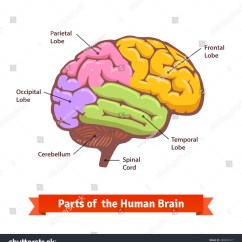 Basic Diagram Human Brain Wiring Light Switch Colored Labeled Flat Stock Vector