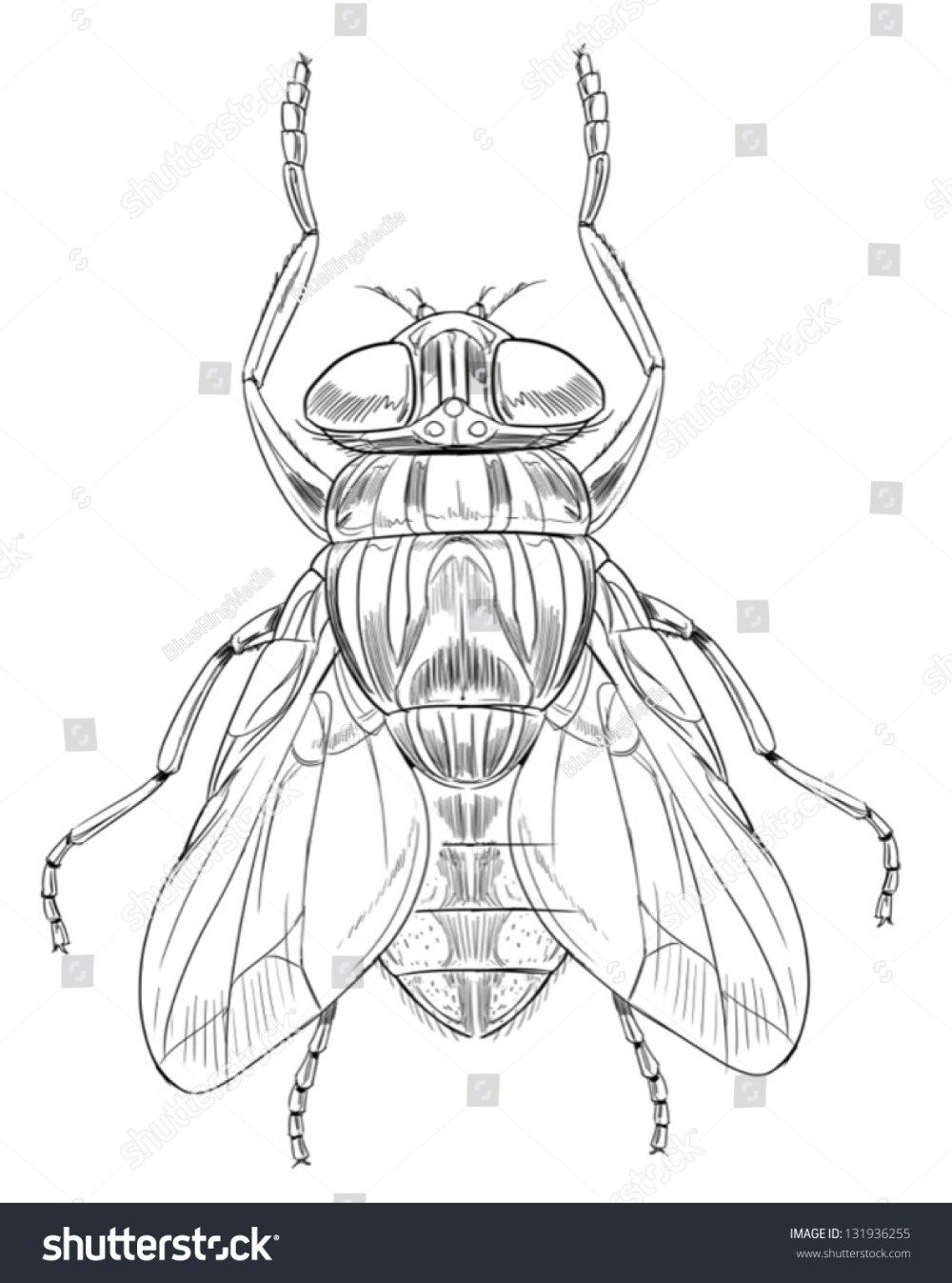medium resolution of common housefly musca domestica