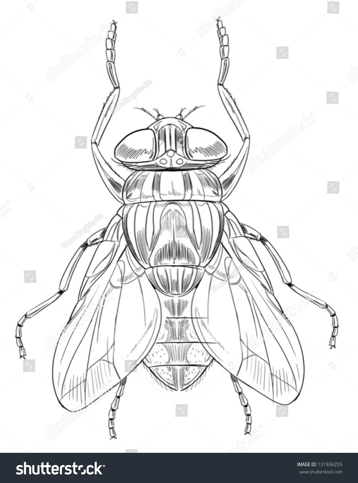 hight resolution of common housefly musca domestica