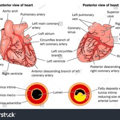 Coronary Arteries Diagram Branches King Kutter Tiller Parts Heart Disease Labeled Stock Vector 28618675