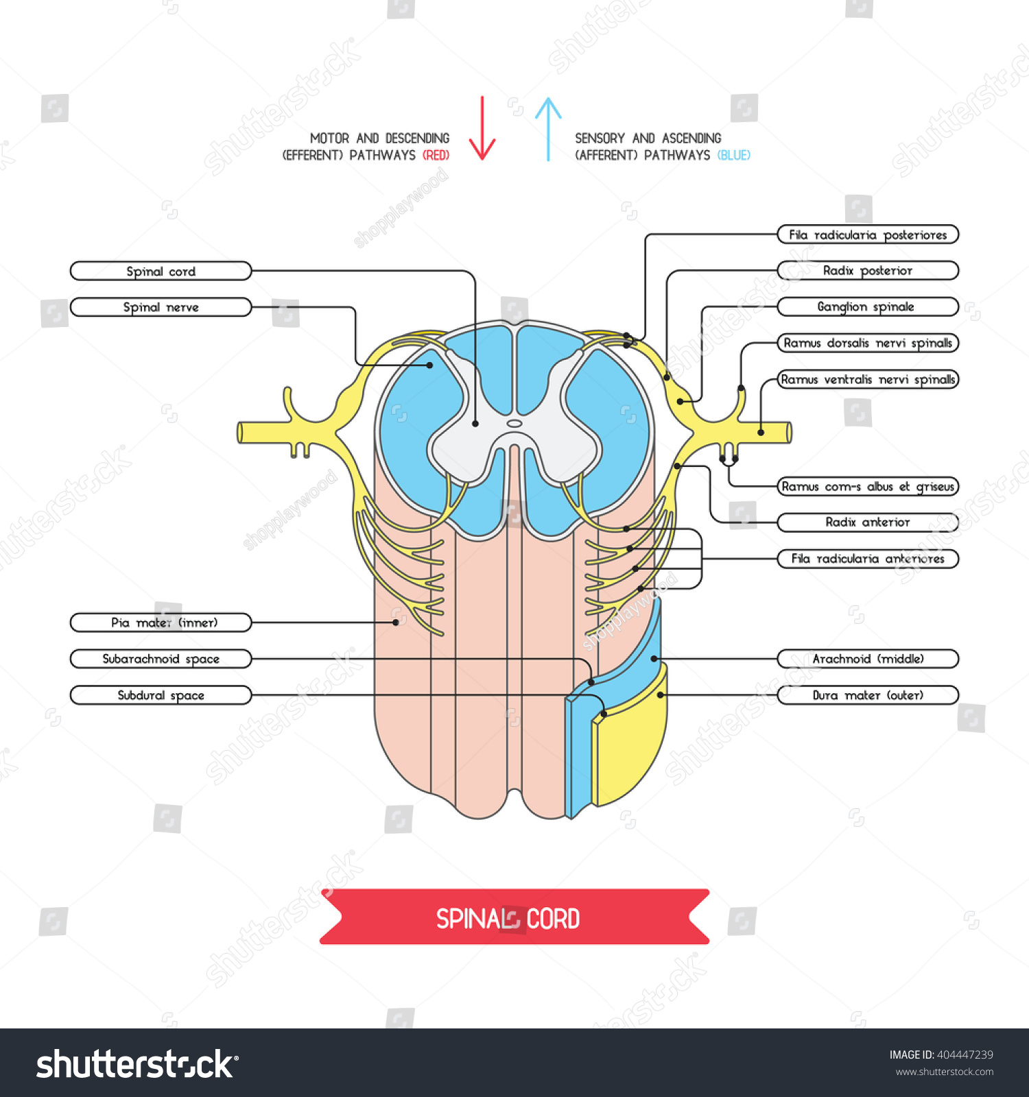 reflex arc diagram trane chiller wiring cross section spinal cord central nervous stock vector