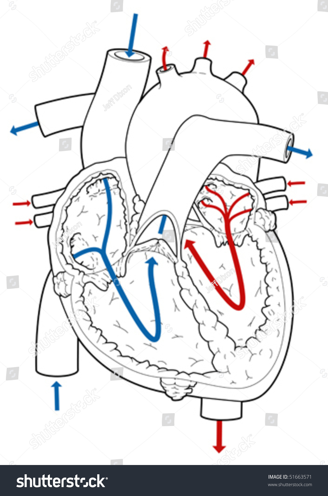 chamber heart diagram worksheet sheep dissection cross section vector illustration arrows stock
